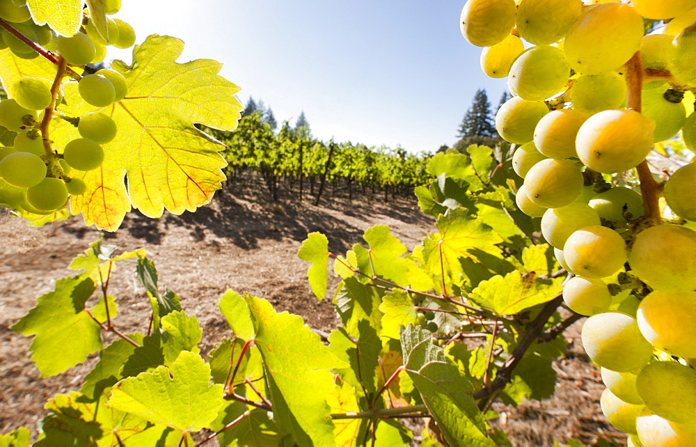 Close-up of grapes in a vineyard, Napa Valley, California, United States of America, North America  - 839-66