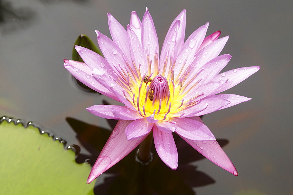 Lotus flower, Balata Garden, Martinique, French Overseas Department, Windward Islands, West Indies, Caribbean, Central America