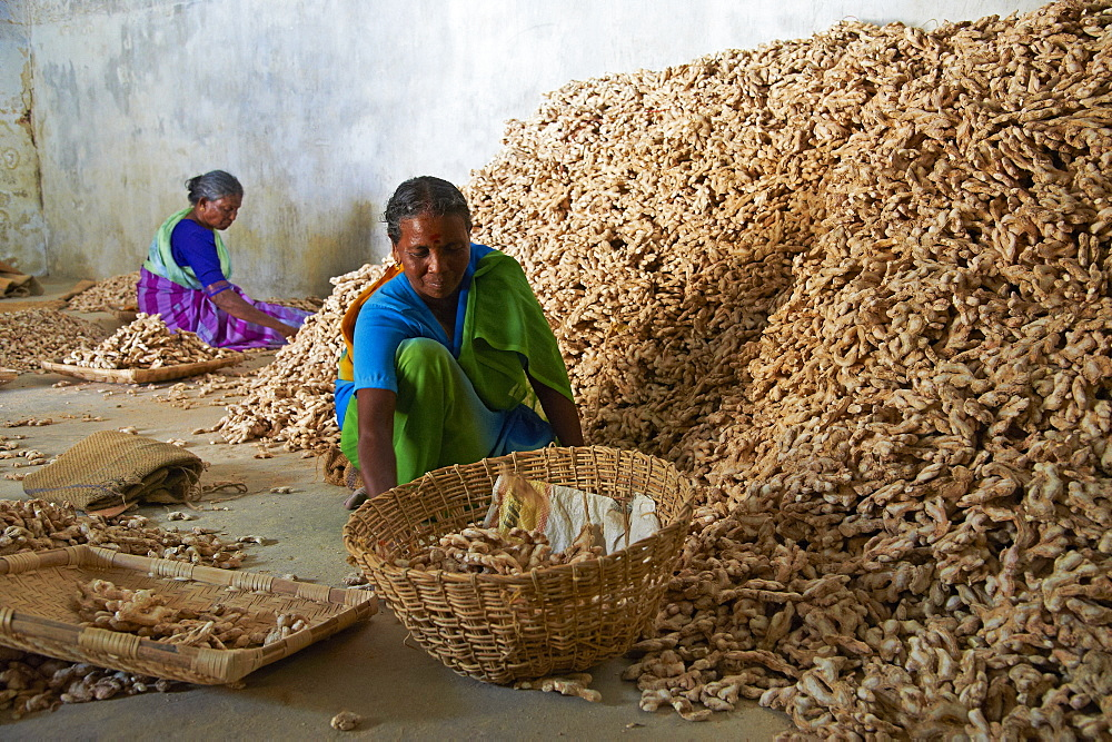 Workers in the ginger warehouse in the spices area, Fort Cochin, Kerala, India, Asia