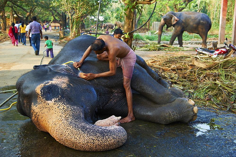 Guruvayur, elephant center, training for the temple parade, Kerala, India, Asia