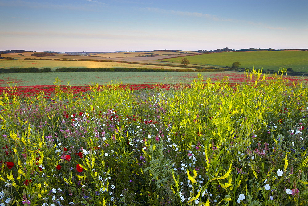 A beautiful field of wild flowers and poppies on a summer morning near Burnham Market, Norfolk, England, United Kingdom, Europe
