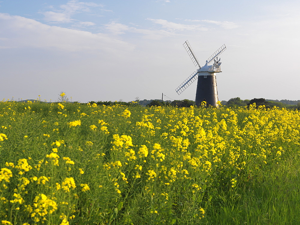 Burnham Overy Mill viewed from a field of oil seed rape, Burnham Overy, Norfolk, England, United Kingdom, Europe