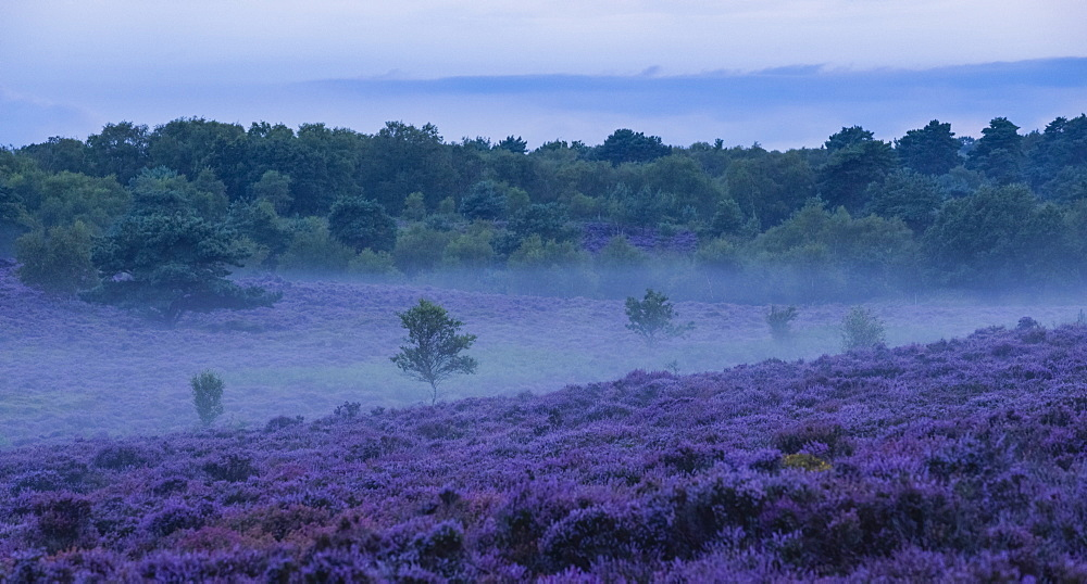 Wonderful heather colours at Dunwich Heath, Suffolk, England, United Kingdom, Europe