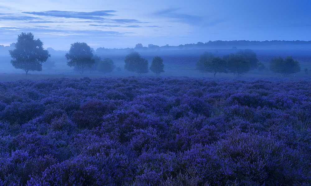 A view of the beautiful heathland with intense heather colours at Westleton Heath, Suffolk, England, United Kingdom, Europe