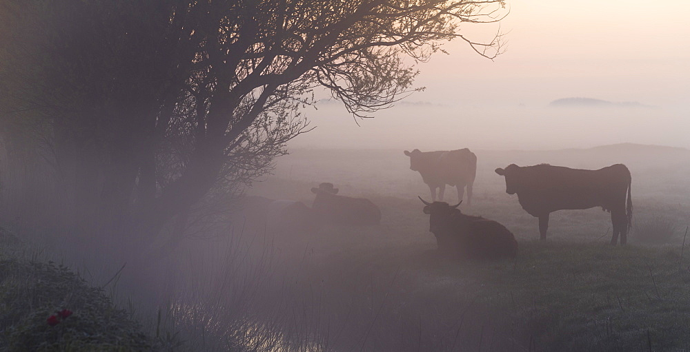 Cow in a field on a misty morning near Potter Heigham, Norfolk, England, United Kingdom, Europe