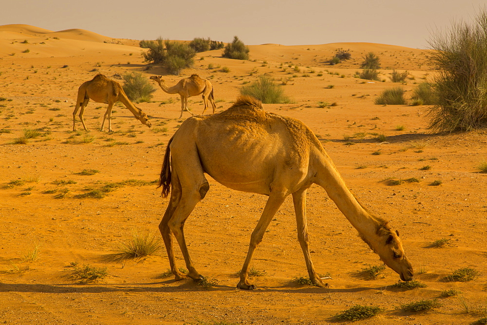 Racing camels raised in the Dubai Desert, Dubai, United Aran Emirates, Middle East