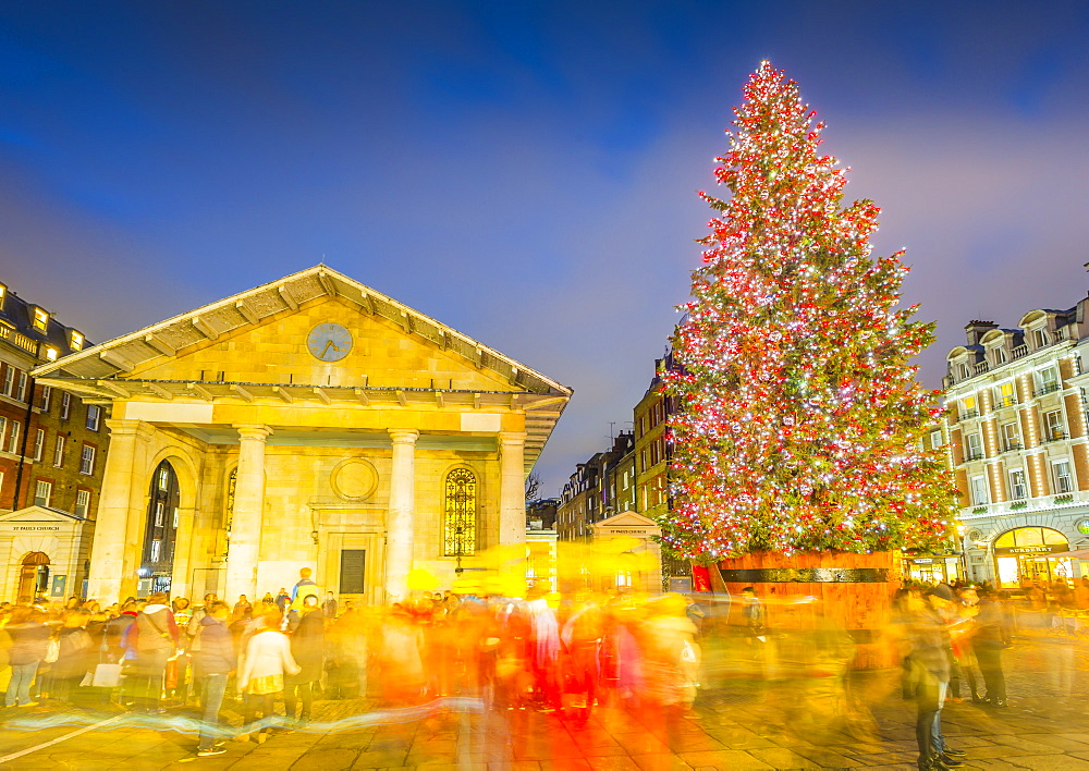 View of Christmas Tree and St. Paul's Church in Covent Garden at dusk, London, England, United Kingdom, Europe