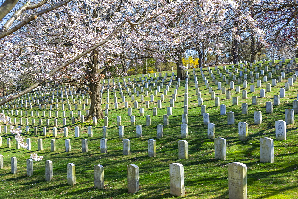 View of gravestones in Arlington National Cemetery in springtime, Washington D.C., United States of America, North America