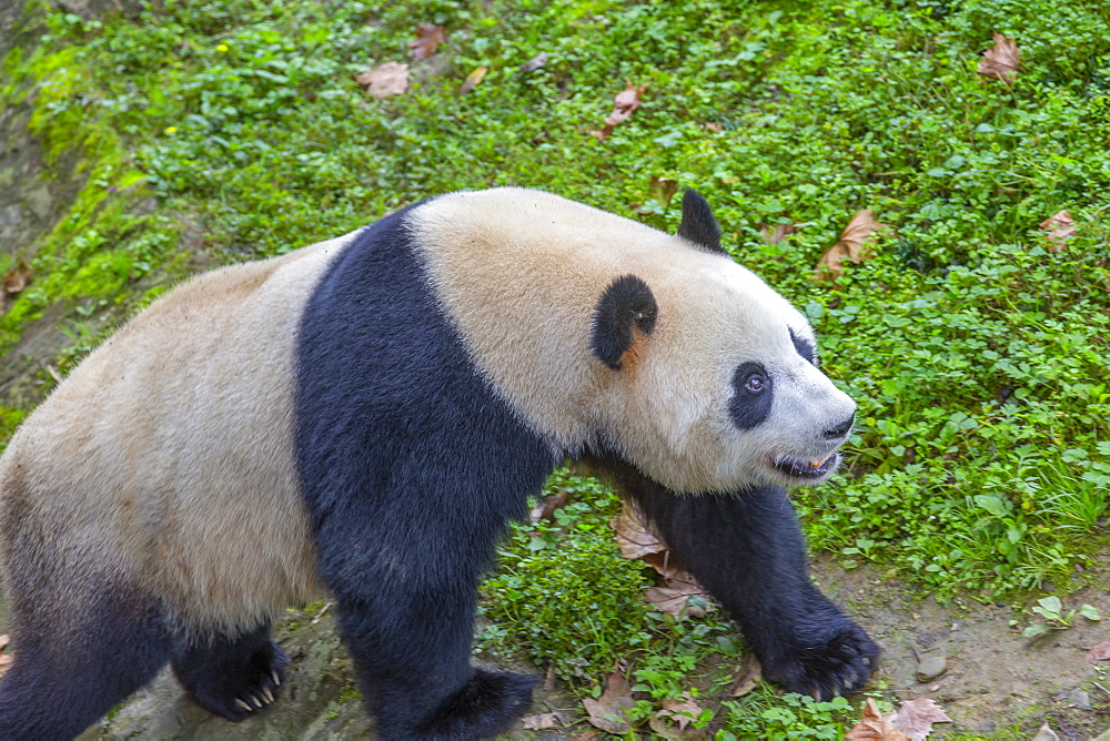 View of Giant Panda in the Dujiangyan Panda Base Chengdu, Sichuan Province, People's Republic of China, Asia