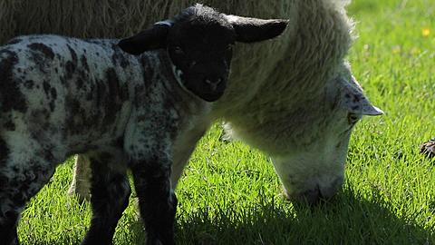 Sheep & Lamb near Abney, Derbyshire, England, UK, Europe