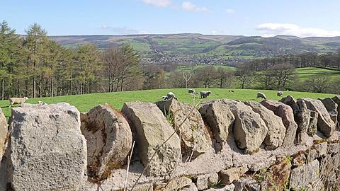 Dry Stone Walls & Sheep near Hathersage, Derbyshire, England, UK, Europe