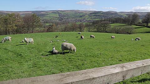 Gate & Sheep near Hathersage, Derbyshire, England, UK, Europe