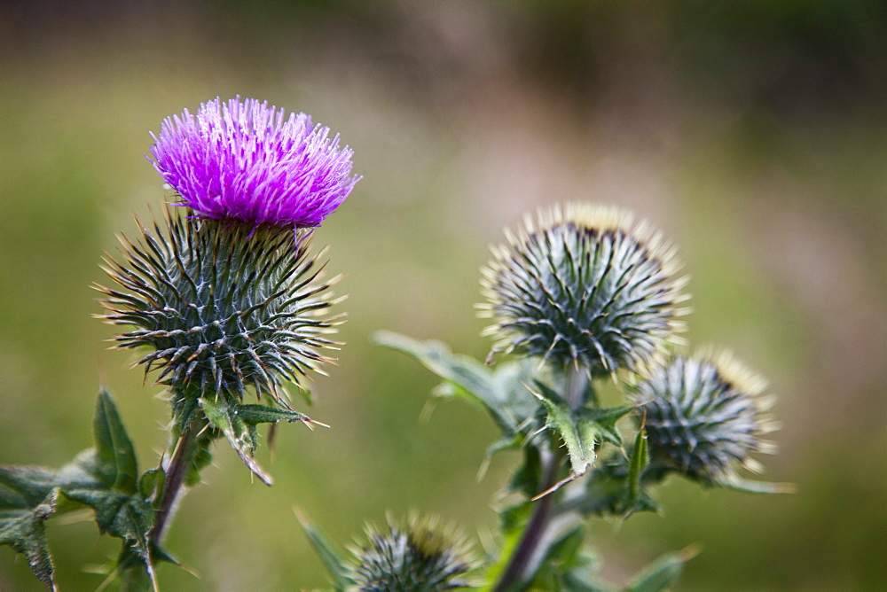 Scottish thistle near Dunnottar Castle, Stonehaven, Aberdeenshire, Scotland, United Kingdom, Europe