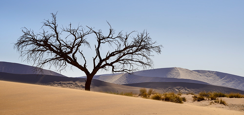 Lone tree at the foot of Dune 45, with the distant dunes rendered silver and purple by the afternoon sun, Namib Naukluft, Namibia, Africa