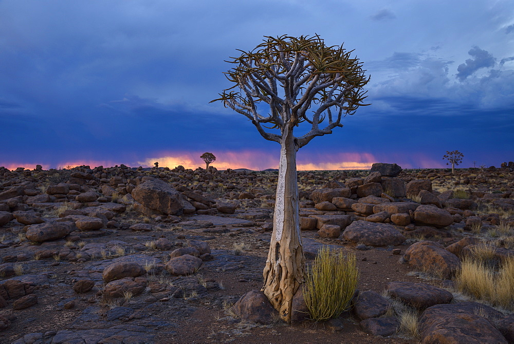 Quiver trees (kokerboom) and boulders against a fiery and stormy sky in the Giant's Playground, Keetmanshoop, Namibia, Africa