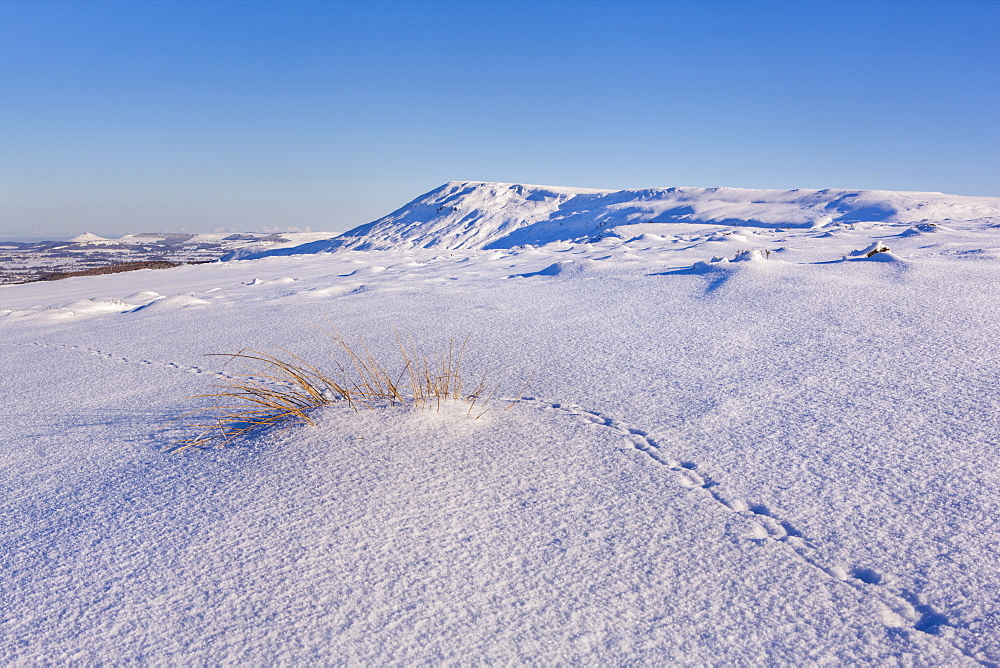Grouse tracks across deep snow above the Cleveland Way on the North Yorkshire Moors, with Roseberry Topping in the distance, Yorkshire, England, United Kingdom, Europe