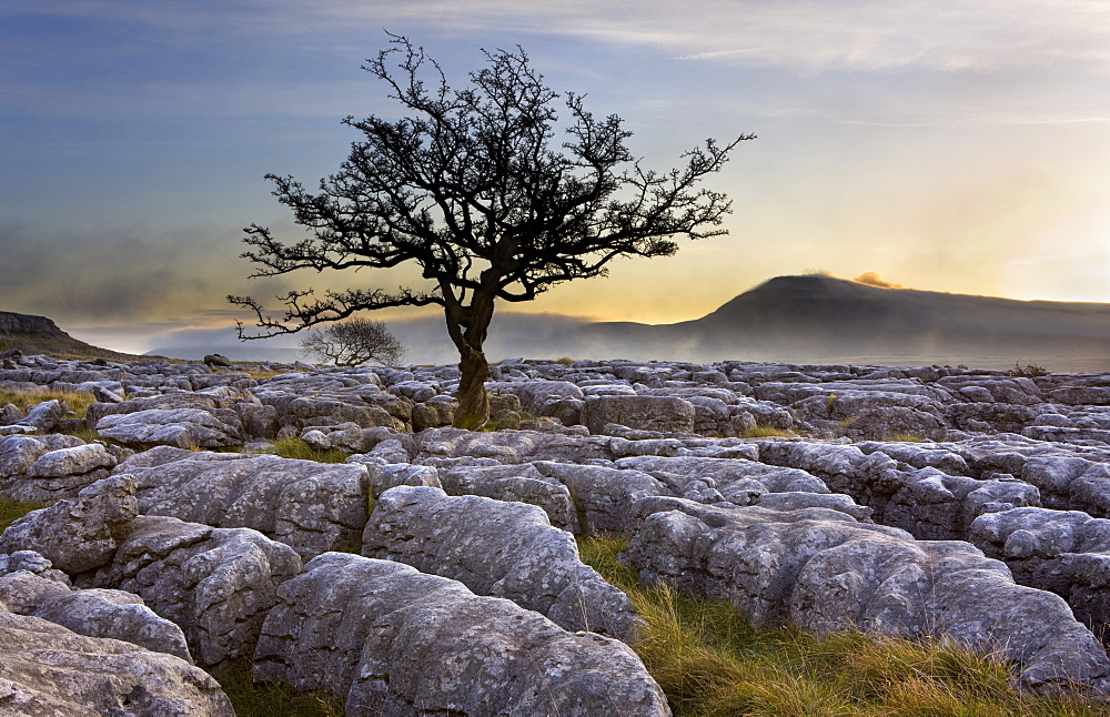 Ingleborough and hawthorn tree at dawn from Twistleton Scars in the Yorkshire Dales, Yorkshire, England, United Kingdom, Europe