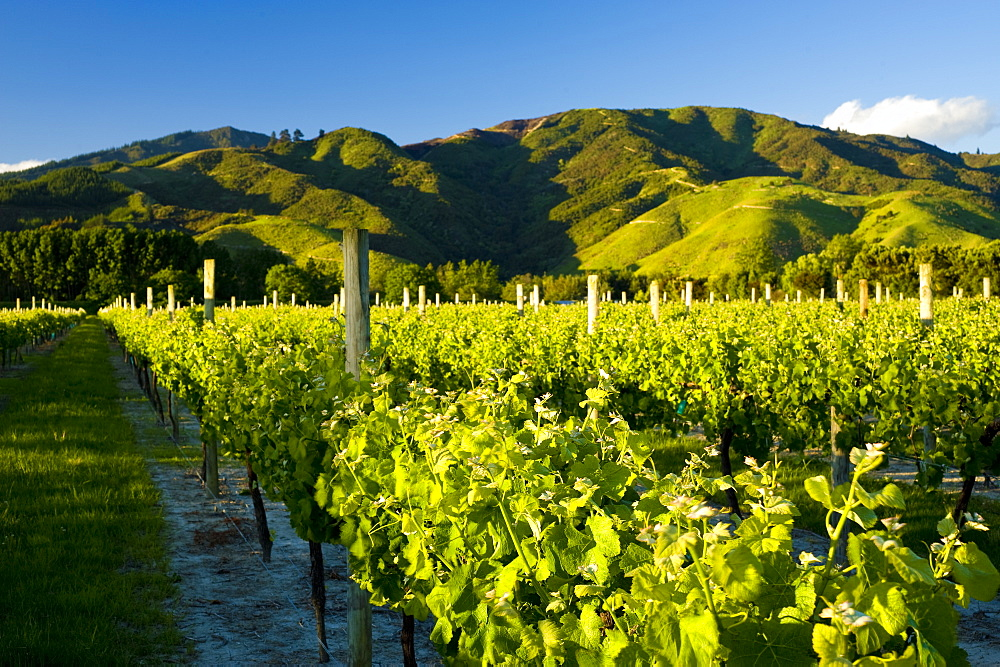 Vineyards near Blenheim, Marlborough, South Island, New Zealand, Pacific