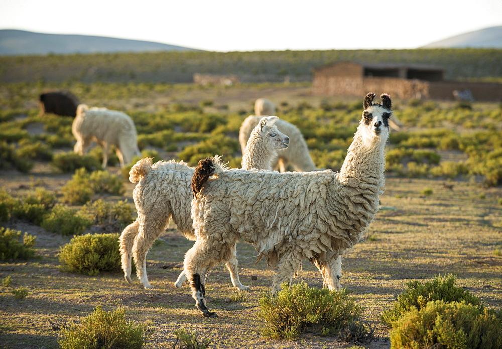 Llamas at dusk, Villa Alota, Southern Altiplano, Bolivia, South America