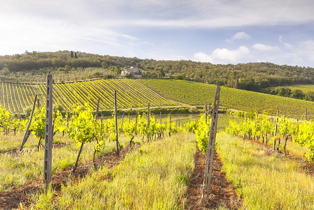 Vineyards near Radda in Chianti, Tuscany, Italy, Europe