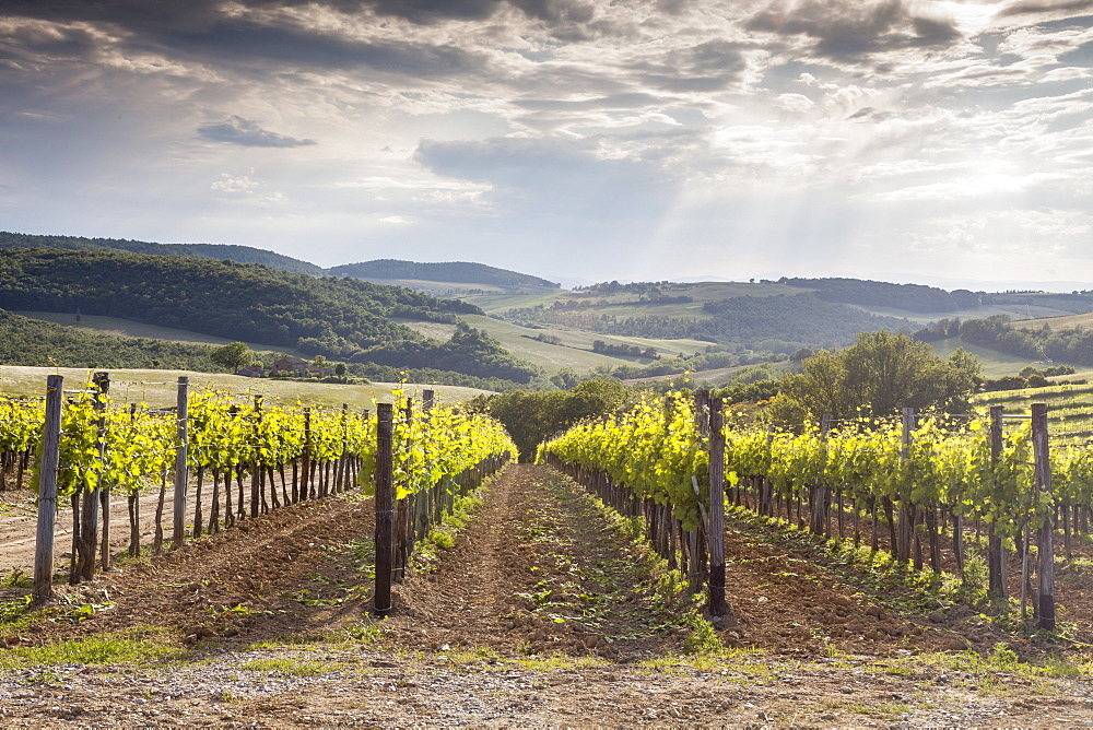 Vineyards near to Montepulciano, Val d'Orcia, UNESCO World Heritage Site, Tuscany, Italy, Europe