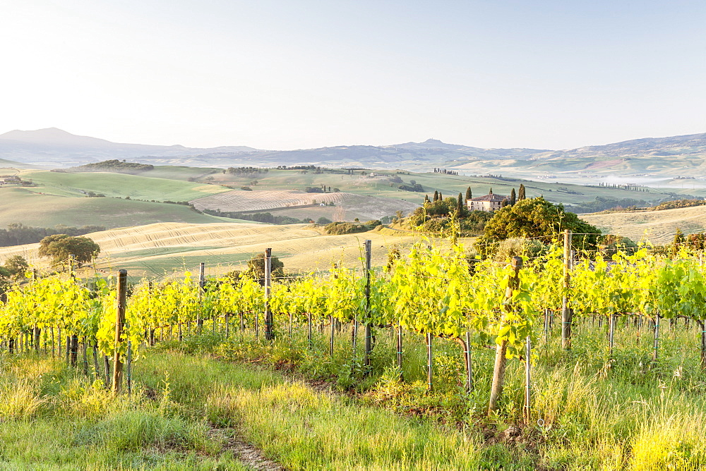 Vineyards and Il Belvedere on the Val d'Orcia, UNESCO World Heritage Site, Tuscany, Italy, Europe