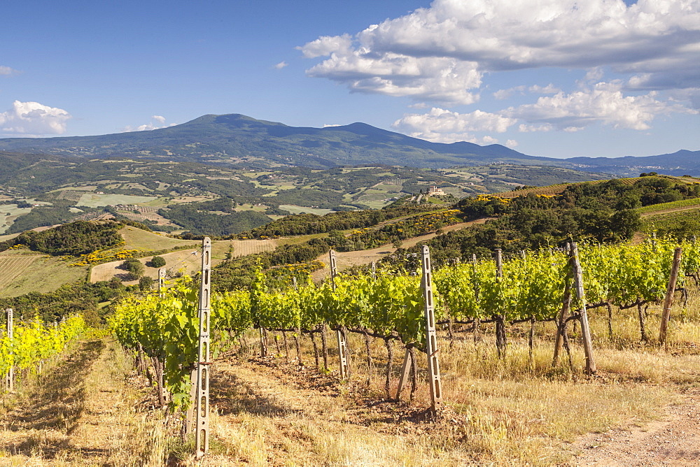 Vineyards near to Montalcino, Val d'Orcia, UNESCO World Heritage Site, Tuscany, Italy, Europe