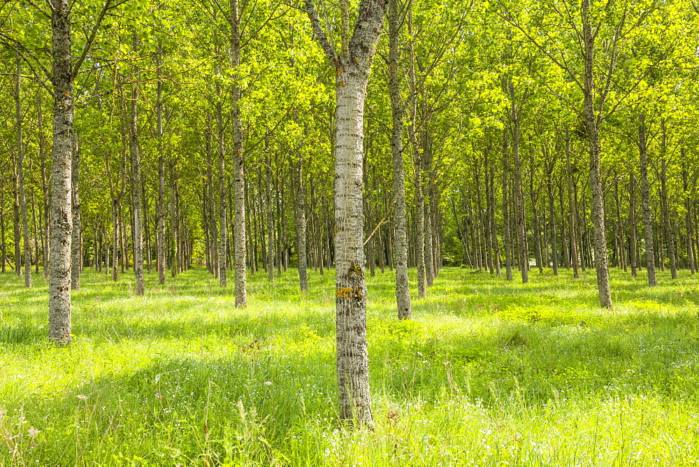 Rows of orderly trees near Fontaines-en-Sologne, Loir-et-Cher, Centre, France, Europe