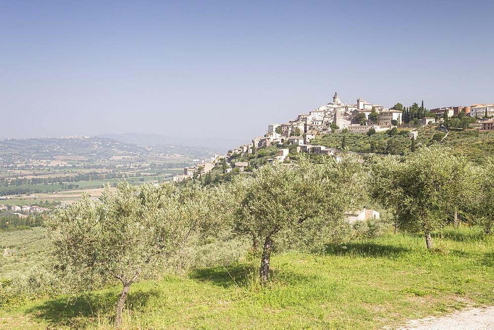 Olive grove near to Trevi in the Val di Spoleto, Umbria, Italy, Europe