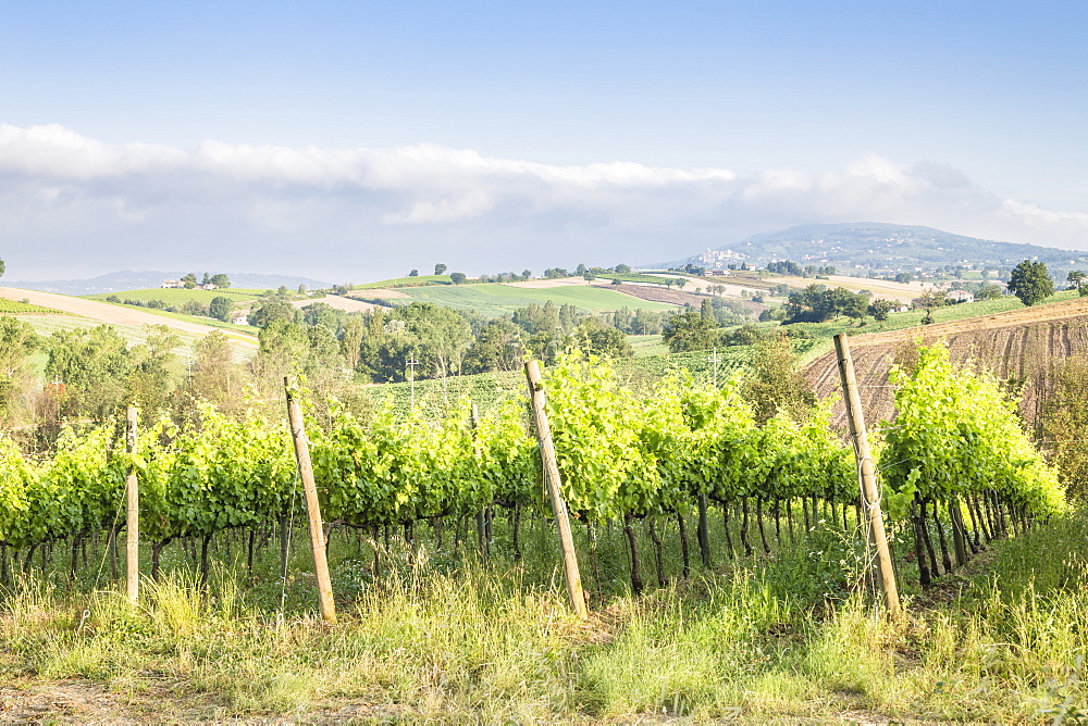 Vineyards near to Montefalco, known for its red wine of Sagrantino, Val di Spoleto, Umbria, Italy, Europe