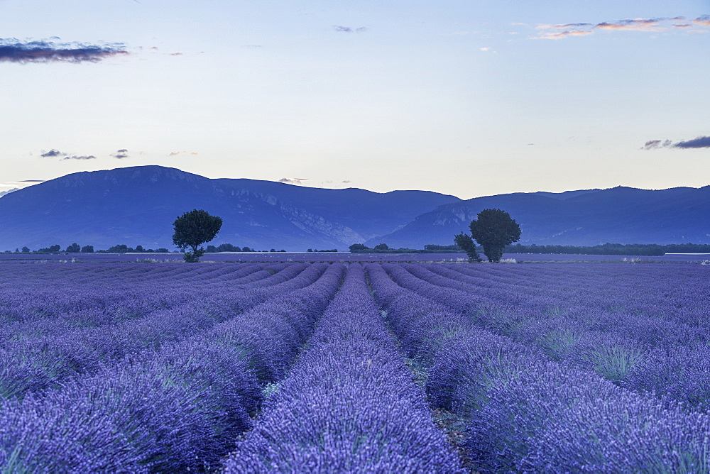 Lavender fields on the Plateau de Valensole, Alpes-de-Haute-Provence, France, Europe - 849-1738