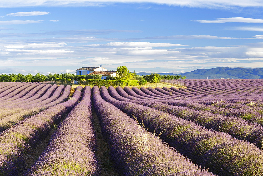 Lavender fields on the Plateau de Valensole, Alpes-de-Haute-Provence, France, Europe - 849-1740