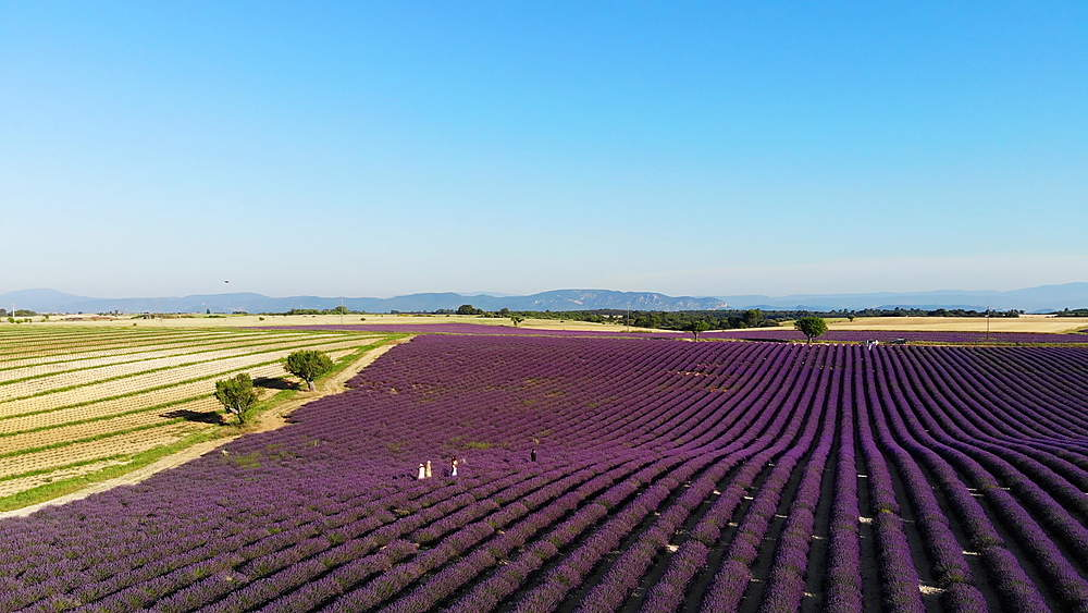 Lavender fields on the Plateau de Valensole in Provence, France. - 849-1789