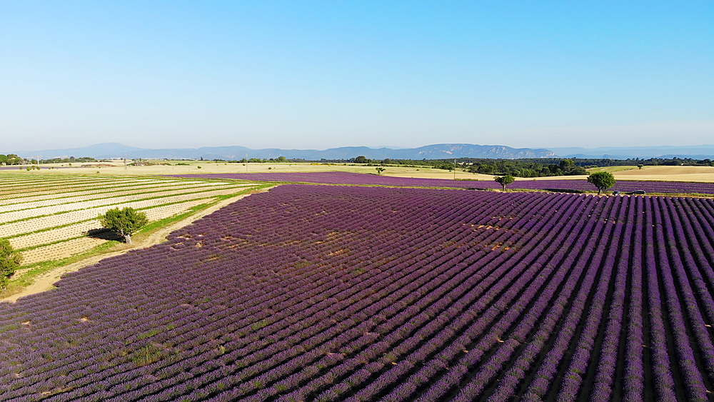 Lavender fields on the Plateau de Valensole in Provence, France. - 849-1790