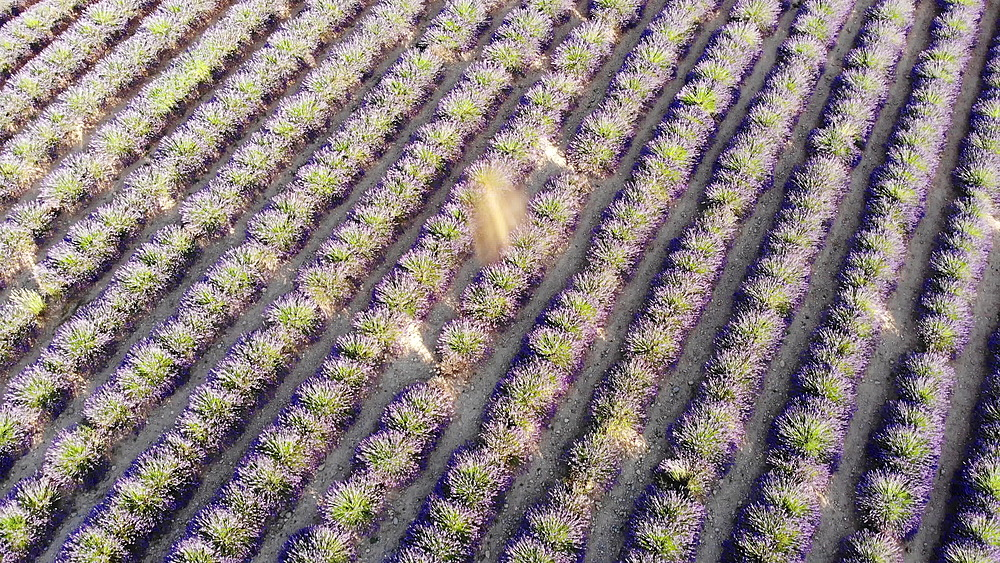 Lavender fields on the Plateau de Valensole in Provence, France. - 849-1791