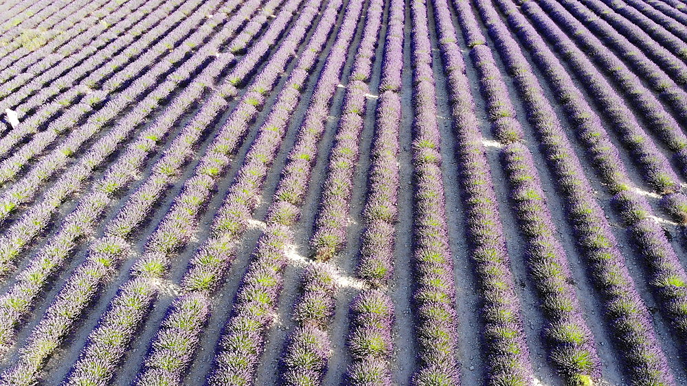 Lavender fields on the Plateau de Valensole in Provence, France. - 849-1792