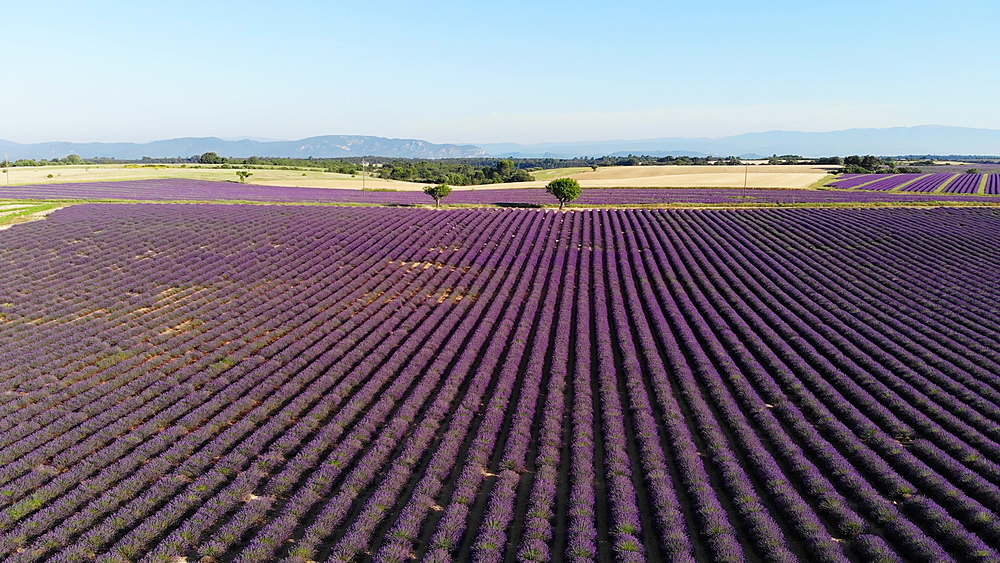 Lavender fields on the Plateau de Valensole in Provence, France. - 849-1793