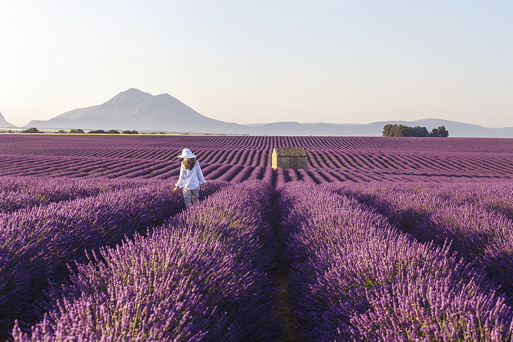 A young woman walks through lavender fields on the Plateau de Valensole in France.