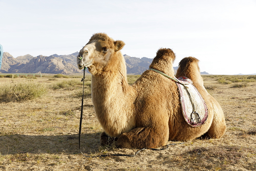 A camel in Khogno Khan National Park, Mongolia, Central Asia, Asia