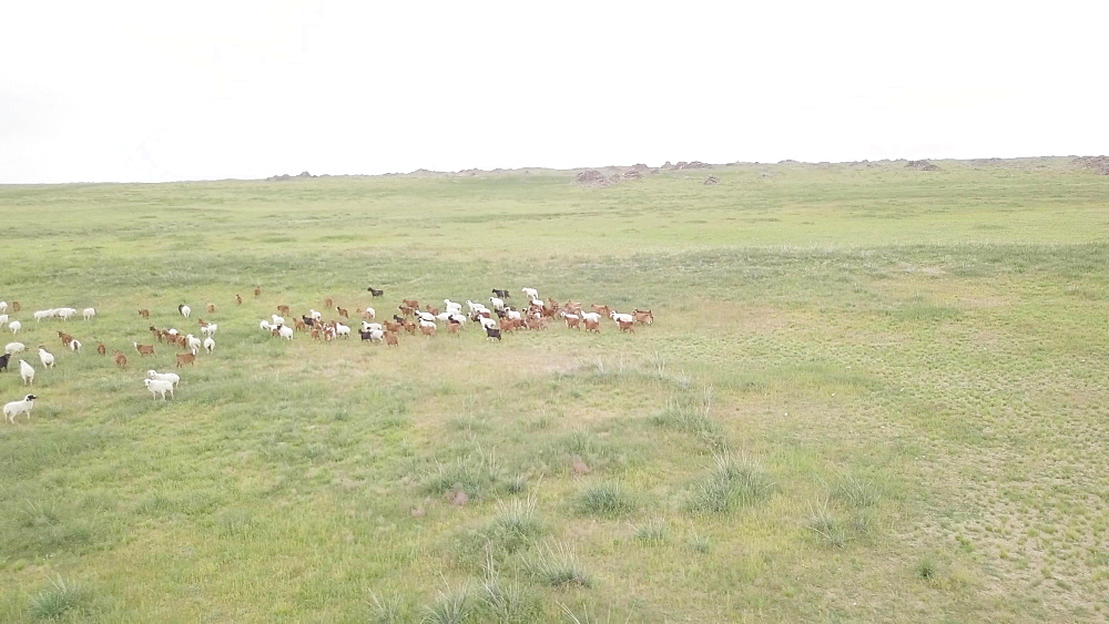 Herd of Kashmir goats in Ikh Nart Nature Reserve, Mongolia, Central Asia, Asia