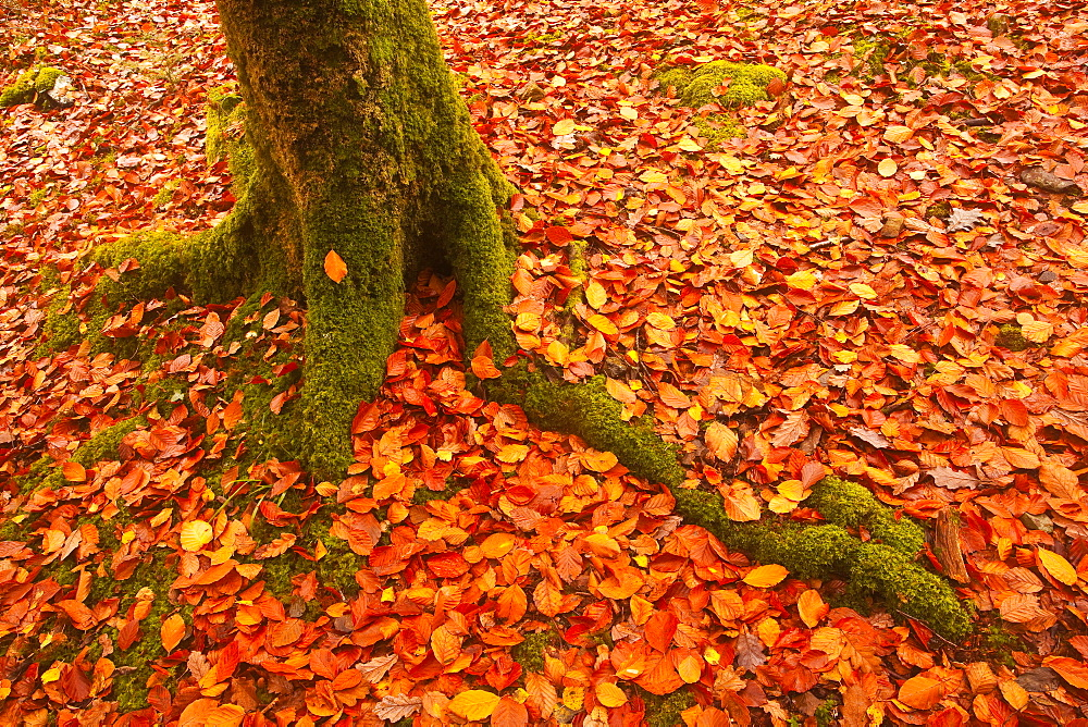 Autumn leaves in Charles Wood, Dartmoor National Park, Devon, England, United Kingdom, Europe - 849-339