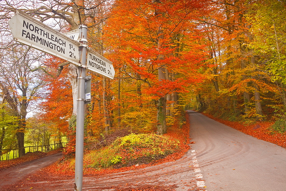 Autumn colours in the beech trees on the road to Turkdean in the Cotwolds, Gloucestershire, England, United Kingdom, Europe - 849-350