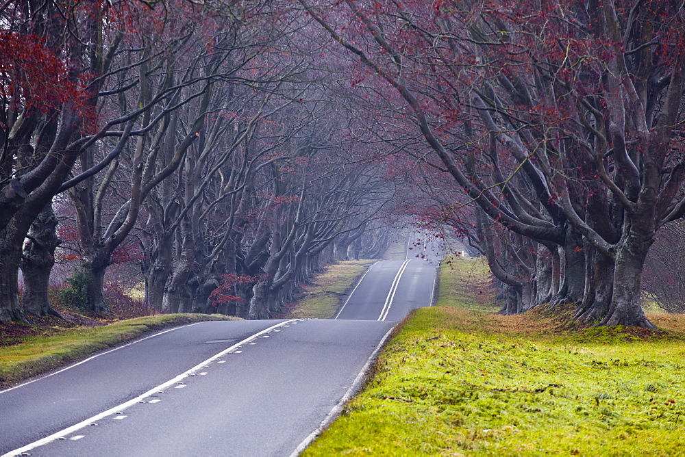 Beech avenue, Kingston Lacy, Dorset, England, United Kingdom, Europe