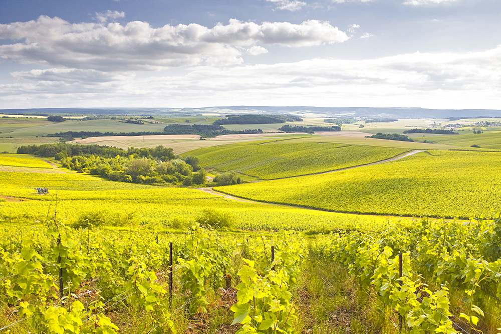 Champagne vineyards in the Cote des Bar area of Aube, Champagne-Ardenne, France, Europe