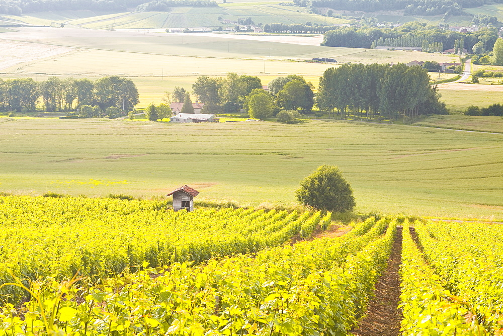 Champagne vineyards in the Cote des Bar area of Aube, Champagne-Ardennes, France, Europe
