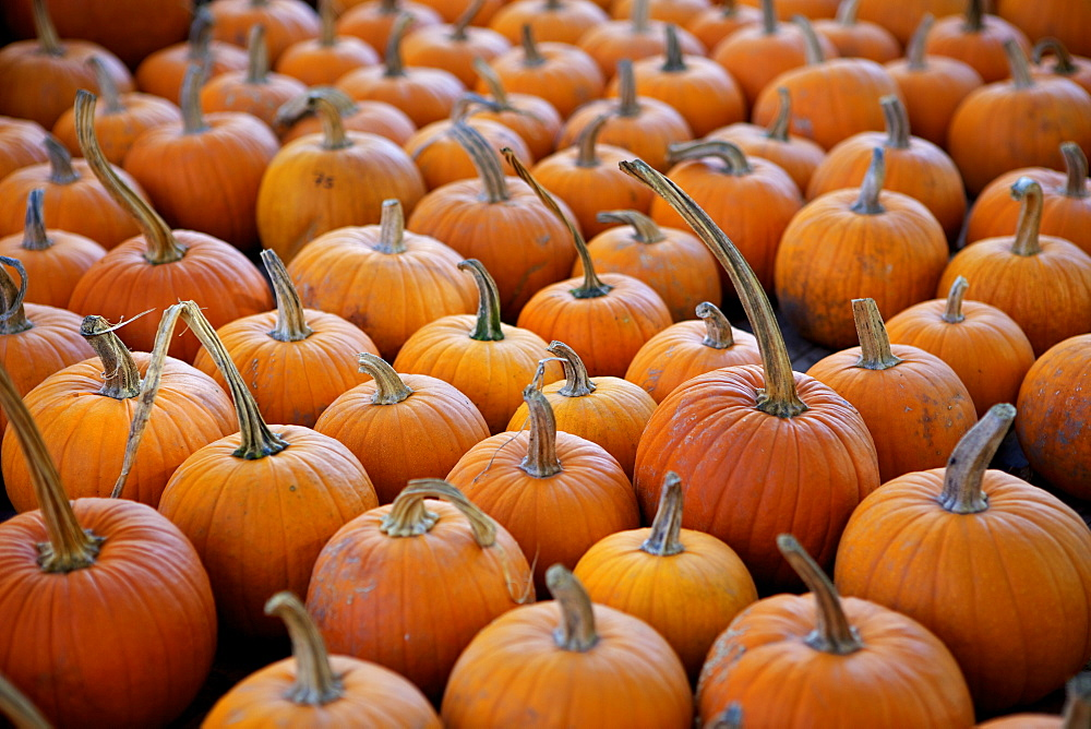 Large number of pumpkins for sale on a farm in St. Joseph, Missouri, United States of America, North America