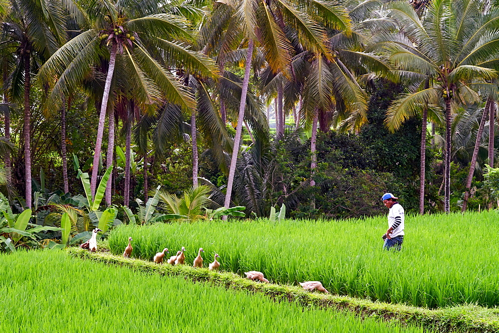 Green rice fields on the Sari Organic Walk in Ubud, Bali, Indonesia, Southeast Asia, Asia