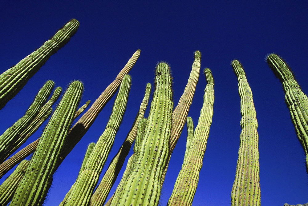 Tall cacti grow towards the sky in the Sonoran Desert, AZ.