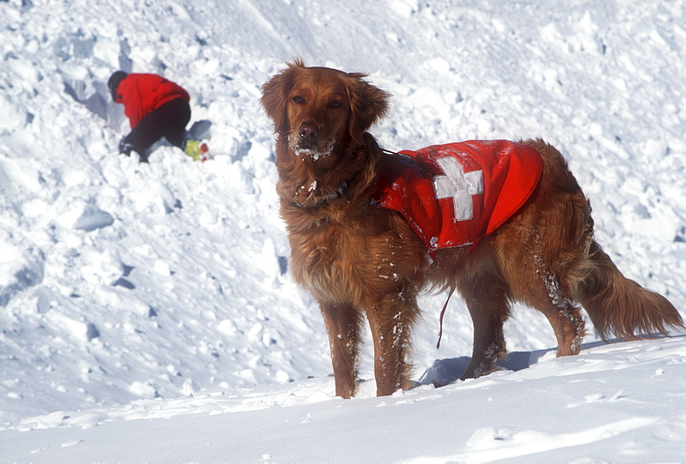 An avalanche rescue dog, trained to sniff out victims buried in avalanches, on the slopes of Snowmass Ski Resort, near Aspen, Colorado with his owner, handler digging in background.
