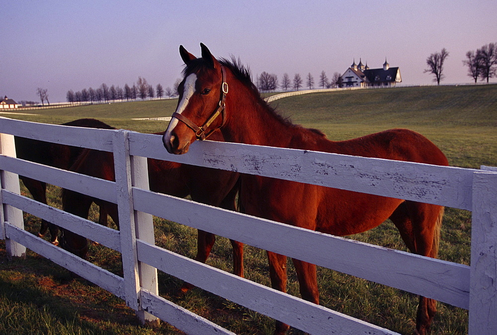Horses come to the fence along Rice Road on Manchester Farm which is located behind Keeneland Race track in Lexington, KY.